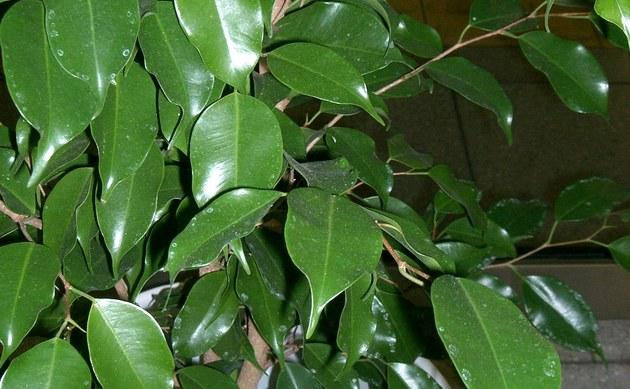 <b>Birkenfeige - <i>Ficus benjamina</i></b>