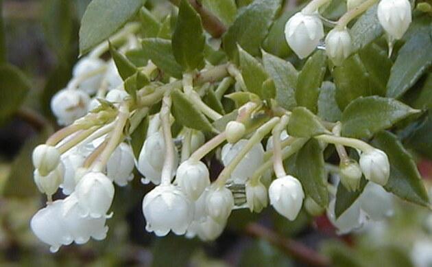 <b>Torfmyrte - <i>Gaultheria mucronata</i></b>