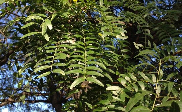 <b>Dreidorniger Lederhülsenbaum - <i>Gleditsia triacanthos</i></b>
