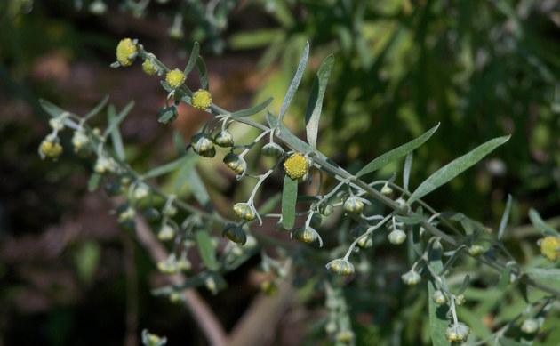 <b>Pontischer Beifuß - <i>Artemisia pontica</i></b>