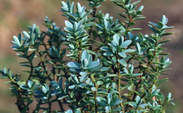<b>Fettblättrige Strauchveronika - <i>Hebe pinguifolia</i></b>