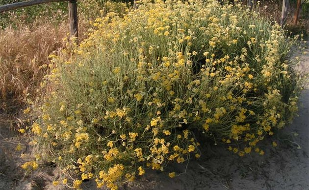 <b>Italienische Strohblume - <i>Helichrysum italicum</i></b>