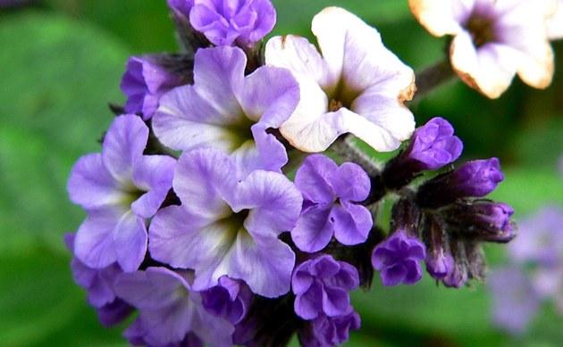 <b>Vanilleblume - <i>Heliotropium arborescens</i></b>