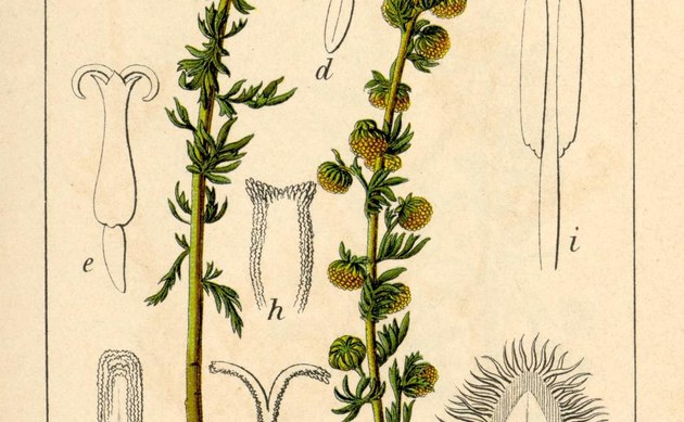 <b>Felsen-Beifuß - <i>Artemisia rupestris</i></b>