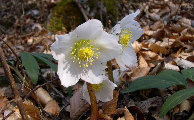 <b>Christrose - <i>Helleborus niger</i></b>
