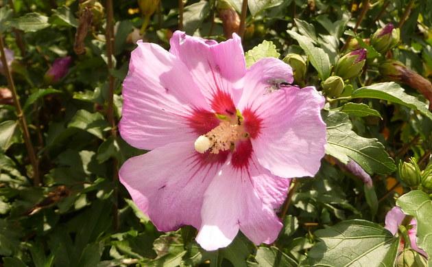 <b>Garteneibisch - <i>Hibiscus syriacus</i></b>