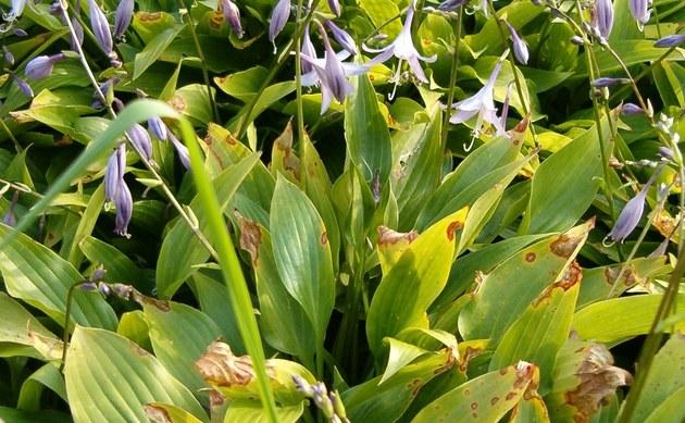 <b>Lanzenblattfunkie - <i>Hosta lancifolia</i></b>
