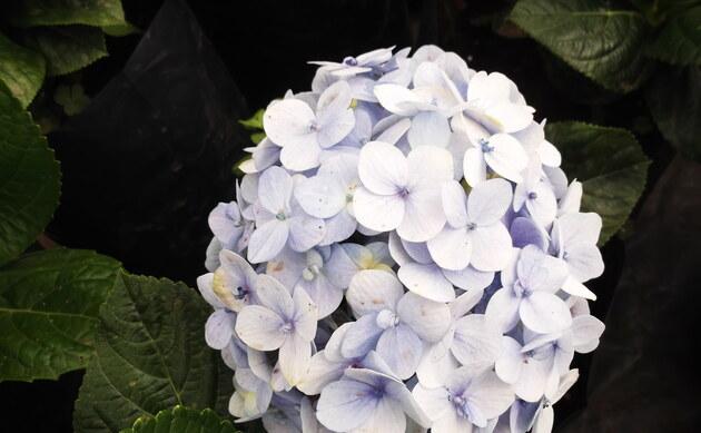 <b>Hortensie - <i>Hydrangea macrophylla</i></b>