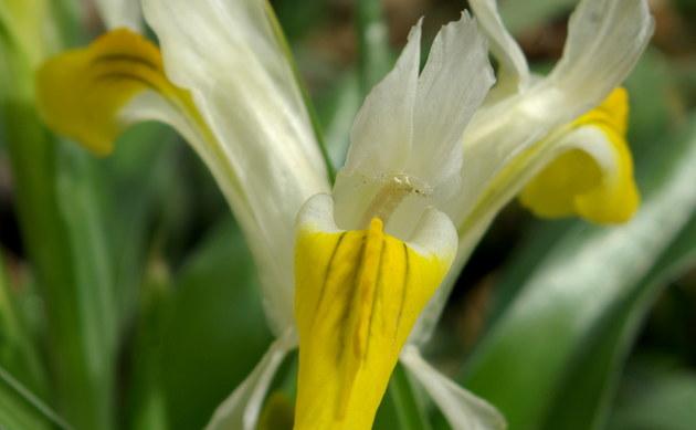 <b>Geweih-Iris - <i>Iris bucharica</i></b>