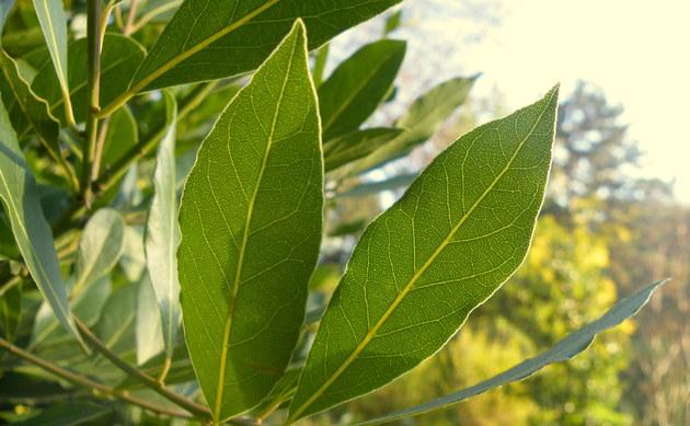 <b>Lorbeerbaum - <i>Laurus nobilis</i></b>