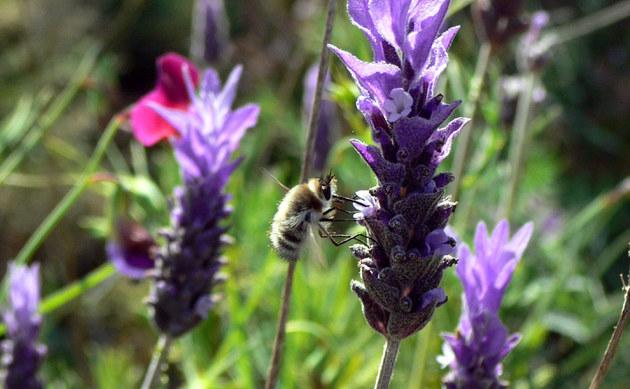 <b>Echter Lavendel - <i>Lavandula angustifolia</i></b>