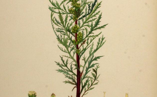 <b>Armenischer Beifuß - <i>Artemisia tournefortiana</i></b>