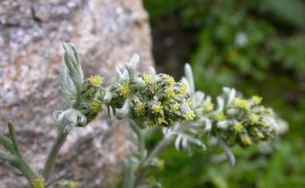 <b>Echte Edelraute - <i>Artemisia umbelliformis</i></b>