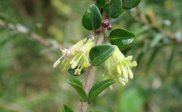 <b>Immergrüne Heckenkirsche - <i>Lonicera pileata</i></b>