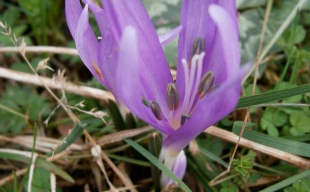 <b>Frühlingslichtblume - <i>Colchicum bulbocodium</i></b>