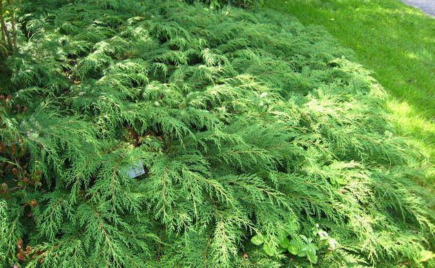 <b>Zwerg-Lebensbaum - <i>Microbiota decussata</i></b>