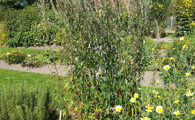 <b>Kamtschatka-Beifuß - <i>Artemisia verlotiorum</i></b>