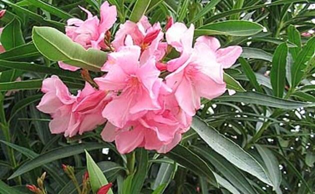 <b>Oleander - <i>Nerium oleander</i></b>