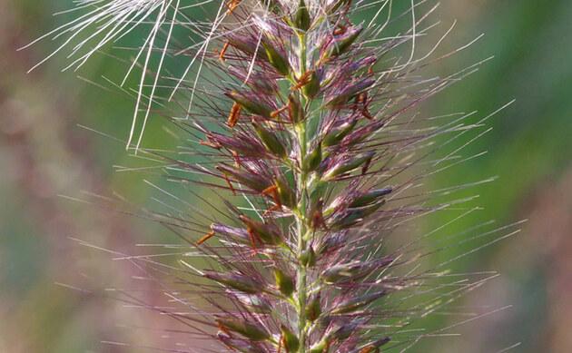 <b>Lampenputzergras - <i>Pennisetum alopecuroides</i></b>
