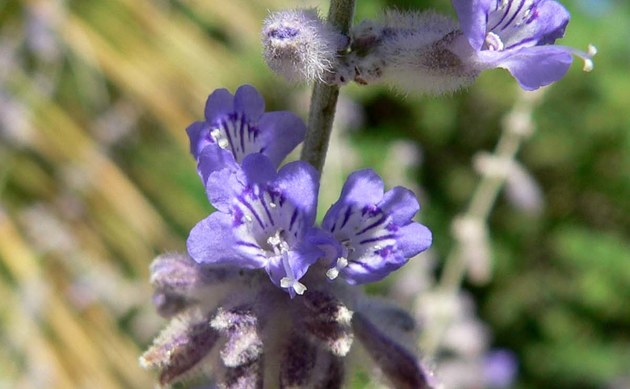 <b>Silberstrauch-Blauraute - <i>Perovskia atriplicifolia</i></b>