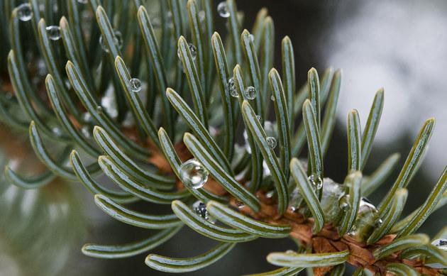 <b>Weiß-Fichte - <i>Picea glauca</i></b>