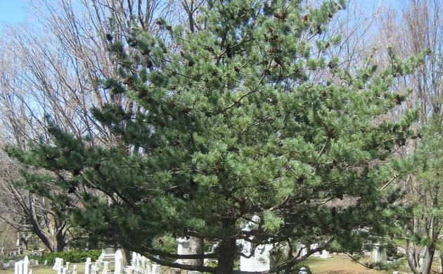 <b>Blaue Mädchenkiefer - <i>Pinus parviflora</i></b>