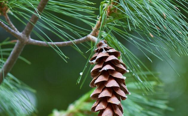 <b>Weymouthskiefer - <i>Pinus strobus</i></b>