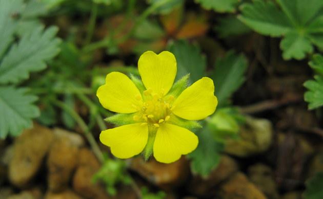 <b>Frühlings-Fingerkraut - <i>Potentilla neumannia</i></b>