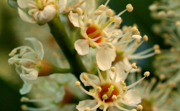 <b>Kirschlorbeer - <i>Prunus laurocerasus</i></b>