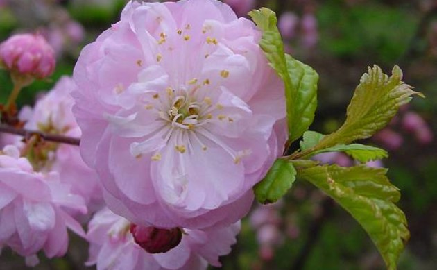 <b>Mandelbäumchen - <i>Prunus triloba</i></b>