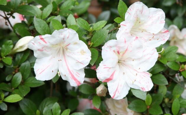 <b>Rhododendron - <i>Rhododendron Yakushimanum Hybriden</i></b>