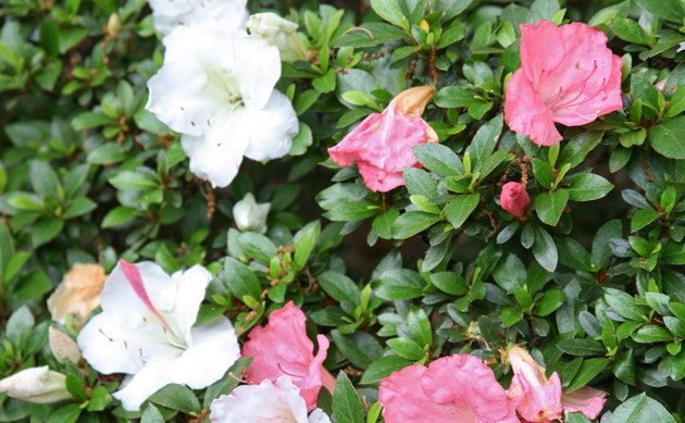 rhododendron yakushimanum hybriden rhododendron. Black Bedroom Furniture Sets. Home Design Ideas