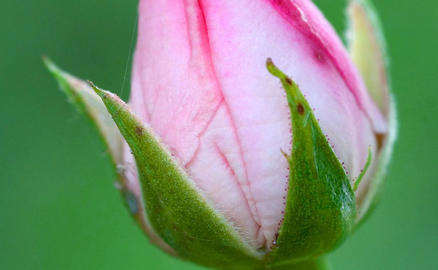 <b>Edelrosen - <i>Rosa Cultivars</i></b>