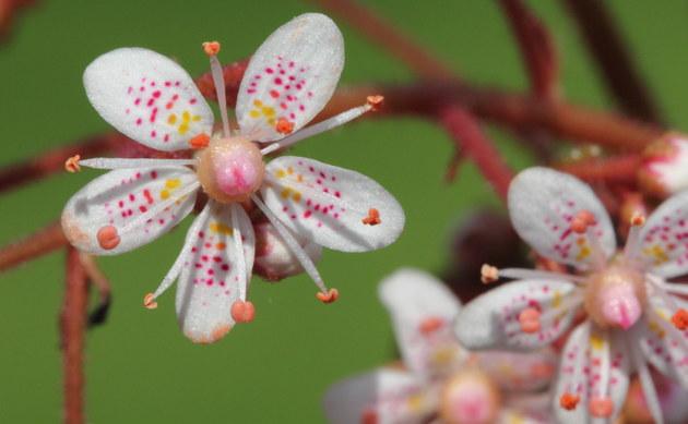 <b>Porzellanblümchen - <i>Saxifraga umbrosa</i></b>