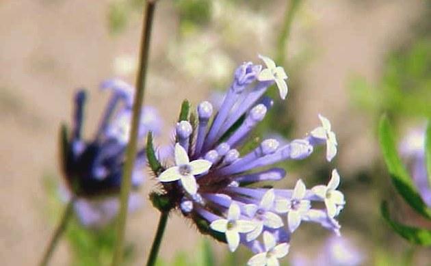 <b>Acker-Meier - <i>Asperula arvensis</i></b>
