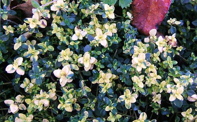 <b>Zitronen-Thymian - <i>Thymus x citriodorus</i></b>