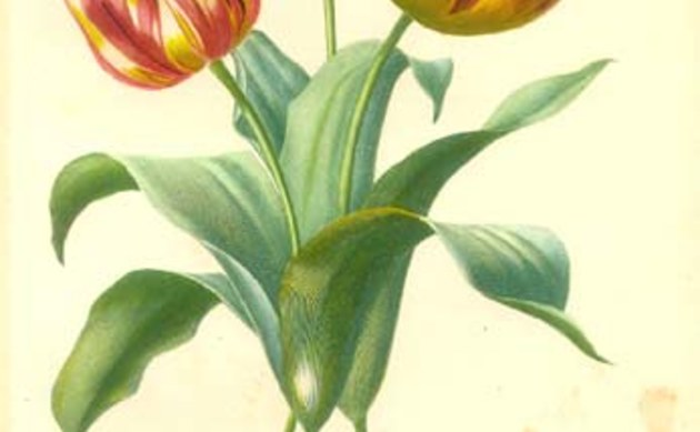 <b>Gartentulpe - <i>Tulipa gesneriana</i></b>