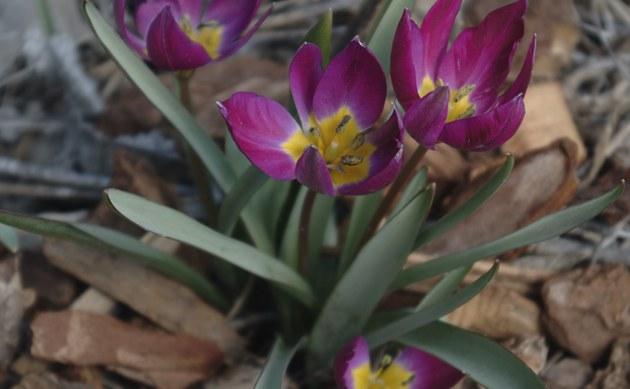 <b>Niedrige Tulpe - <i>Tulipa humilis</i></b>