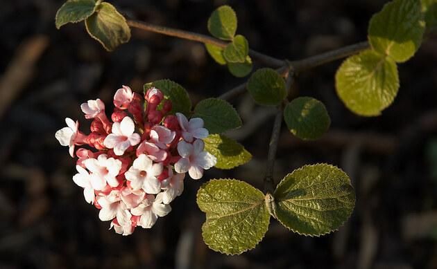 <b>Korea-Duft-Schneeball - <i>Viburnum carlesii</i></b>