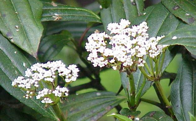<b>Immergrüner Kissen Schneeball - <i>Viburnum davidii</i></b>