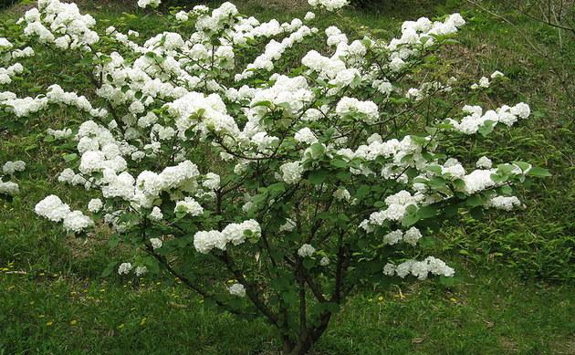 <b>Japan-Schneeball - <i>Viburnum plicatum</i></b>