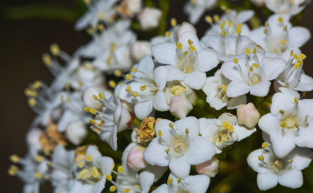 <b>Lorbeerblättriger Schneeball - <i>Viburnum tinus</i></b>