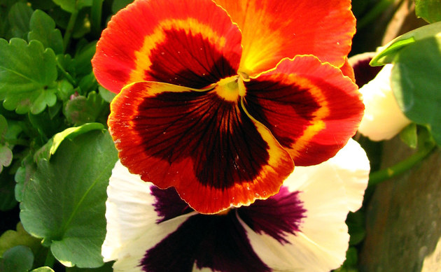 <b>Garten-Stiefmütterchen - <i>Viola x wittrockiana</i></b>