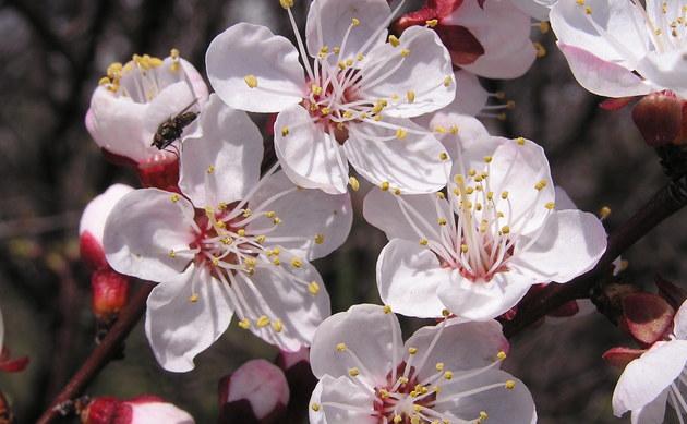<b>Aprikose - <i>Prunus armeniaca</i></b>
