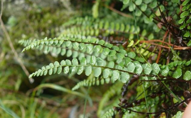 <b>Braungrüner Serpentin-Streifenfarn - <i>Asplenium adulterinum</i></b>