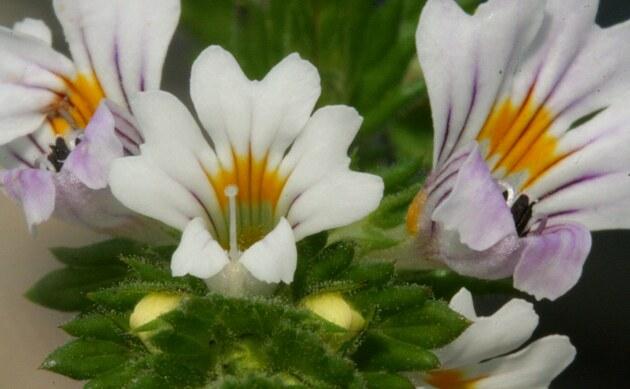 <b>Gewöhnlicher Augentrost - <i>Euphrasia rostkoviana</i></b>