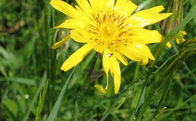 <b>Orientalischer Bocksbart - <i>Tragopogon orientalis</i></b>