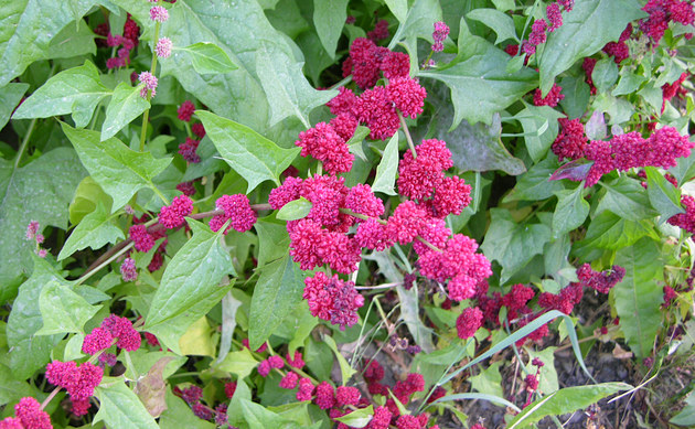 <b>Ähriger Erdbeerspinat - <i>Chenopodium capitatum</i></b>