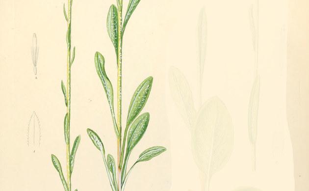 <b>Spatelblättriges Greiskraut - <i>Senecio helenitis</i></b>