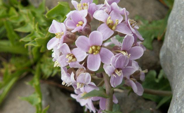 <b>Rundblättriges Hellerkraut - <i>Thlaspi cepaeifolium</i></b>